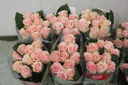 Róża 3