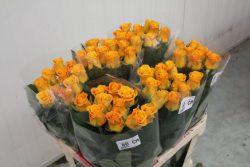 Róża 6